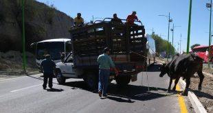 En Pachuca, escapa toro en el bulevar Nuevo Hidalgo; muere por asfixia