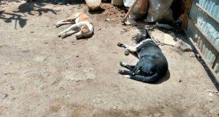 En Huejutla, reportan envenenamiento de perros