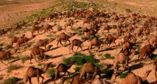 Matarán a 10 mil camellos salvajes en Australia